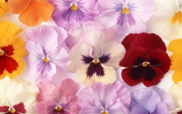 Картинка цветы анютины глазки садовые фиалки