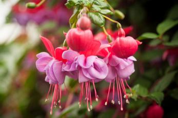 Картинка цветы фуксия макро