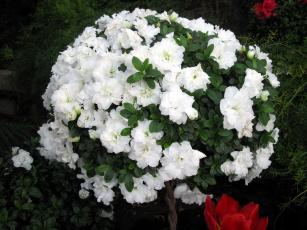 обоя цветы, рододендроны , азалии, белый