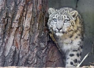 обоя животные, снежный барс , ирбис, дерево, хищник, зверь, барс