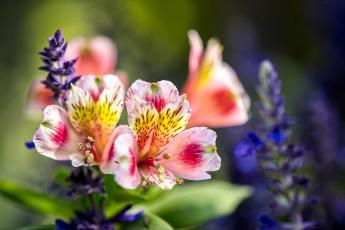 обоя цветы, альстромерия, пестрый