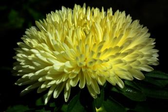 обоя цветы, астры, желтый