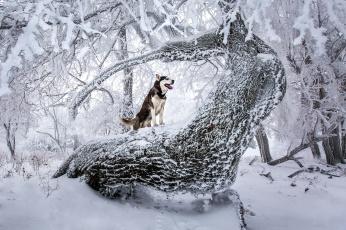 обоя животные, собаки, зима, лес, взгляд, собака
