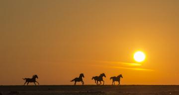 обоя животные, лошади, закат, поле, силуэт, бег