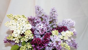 обоя цветы, сирень, гроздья, лиловый, белый, весна