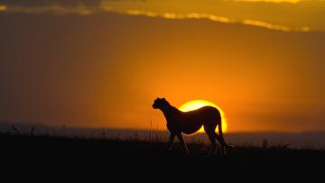обоя животные, гепарды, саванна, трава, небо, гепард, закат, солнце