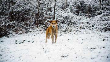 обоя животные, собаки, снег, собака