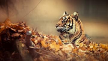 обоя животные, тигры, тигр, листья, осень, туман