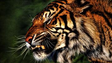обоя животные, тигры, тигр, оскал, голова, зверь, хищник