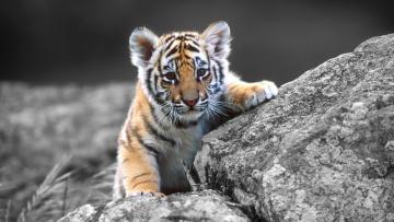 обоя животные, тигры, тигренок, детеныш, камни