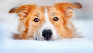 обоя животные, собаки, собака, пес, голова, рыжий, снег