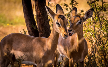 обоя животные, антилопы, дикая, природа, impala, южная, африка, животное