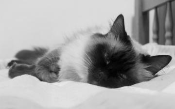 обоя животные, коты, кот, кошка, кровать, бирманская, черно-белая