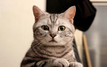 обоя животные, коты, полосатая, взгляд, кошка, кот