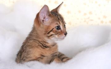 обоя животные, коты, полосатый, котенок