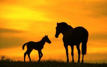 обоя животные, лошади, закат, силуэты, лошадь, жеребенок