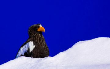 обоя животные, птицы - хищники, орлан, снег, небо