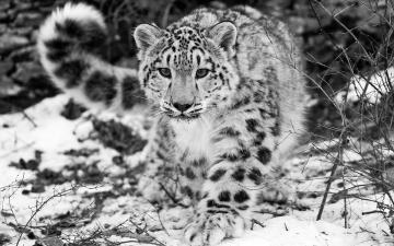 обоя животные, снежный барс , ирбис, кусты, зима, снег, зверь, хищник, барс