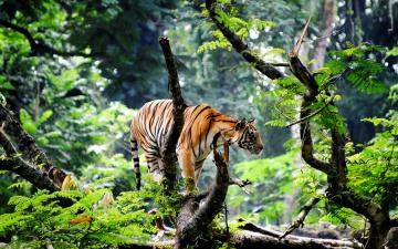 обоя животные, тигры, тигр, лес, акация, дерево