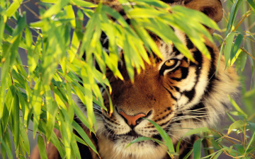 обоя животные, тигры, тигр, взгляд, засада, листья