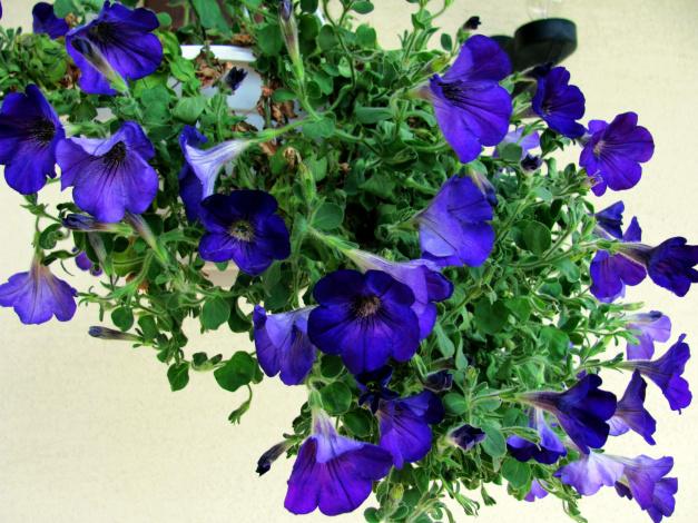Обои картинки фото цветы, петунии,  калибрахоа, синий