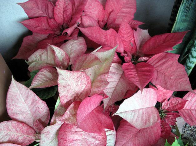Обои картинки фото цветы, пуансеттия, рождественская, звезда