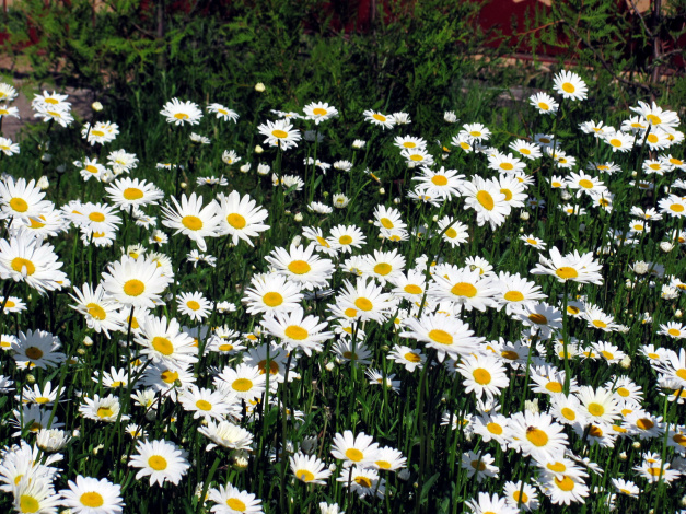 Обои картинки фото цветы, ромашки, много