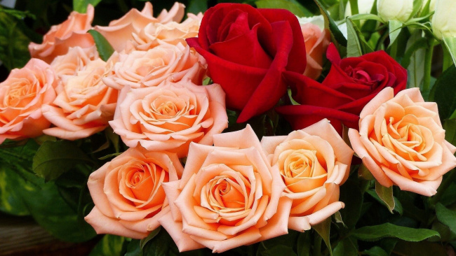 Обои картинки фото цветы, розы, алый, розовый