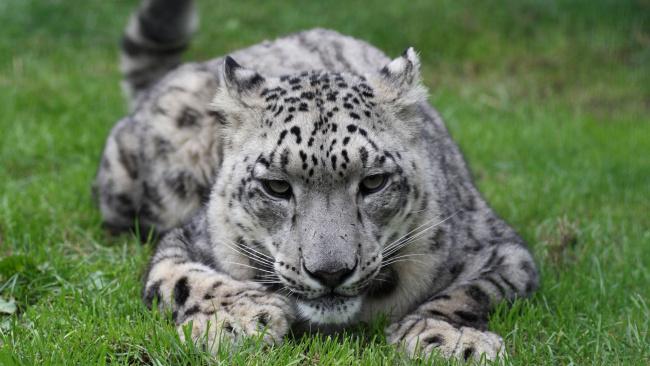 Обои картинки фото животные, снежный барс , ирбис, взгляд, трава, хищник, зверь