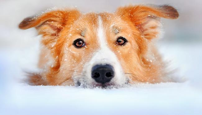 Обои картинки фото животные, собаки, собака, пес, голова, рыжий, снег