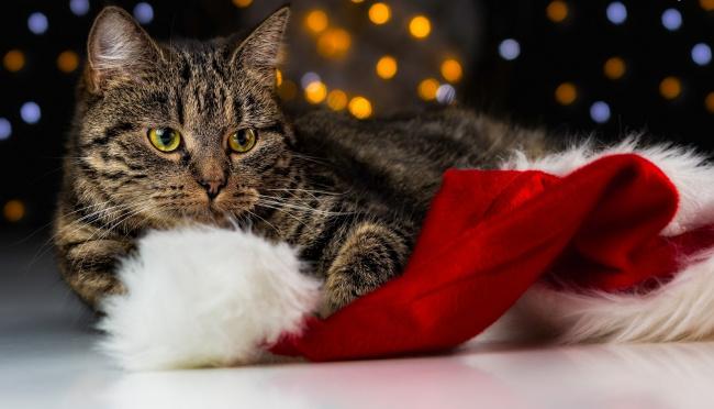Обои картинки фото животные, коты, шапка, полосатый, кот