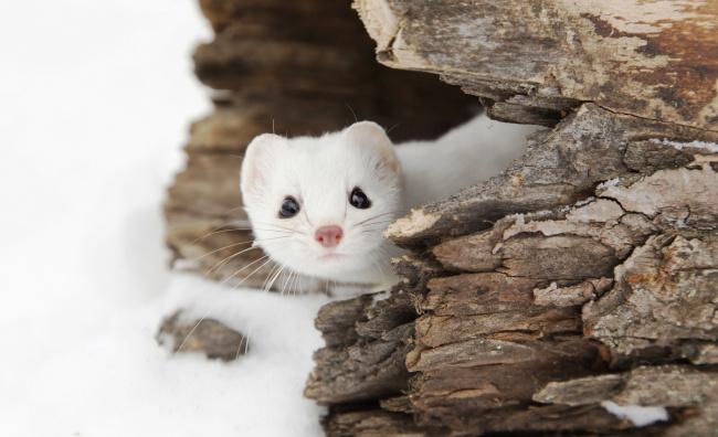 Обои картинки фото животные, хорьки,  куницы,  горностаи,  ласки,  соболи, скала, камни, горностай, зима, снег