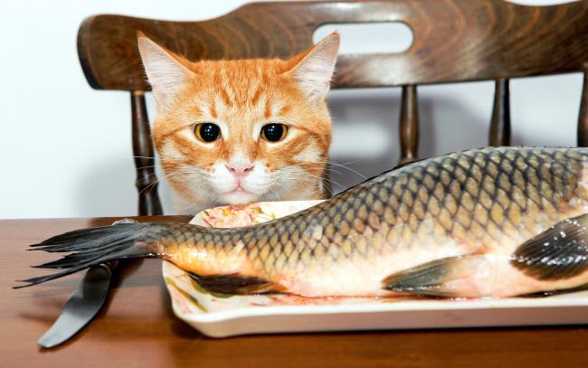 Обои картинки фото юмор и приколы, кот, карп, ожидание