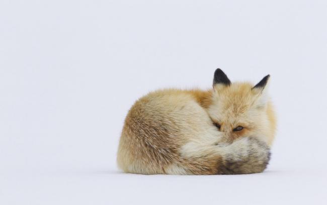 Обои картинки фото животные, лисы, лиса, рыжая, снег, зима