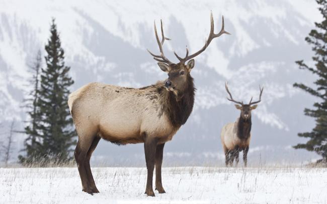 Обои картинки фото животные, олени, рога, снег, зима, гора, ели