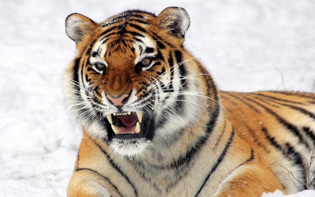 Обои картинки фото животные, тигры, тигр, оскал, снег, зима
