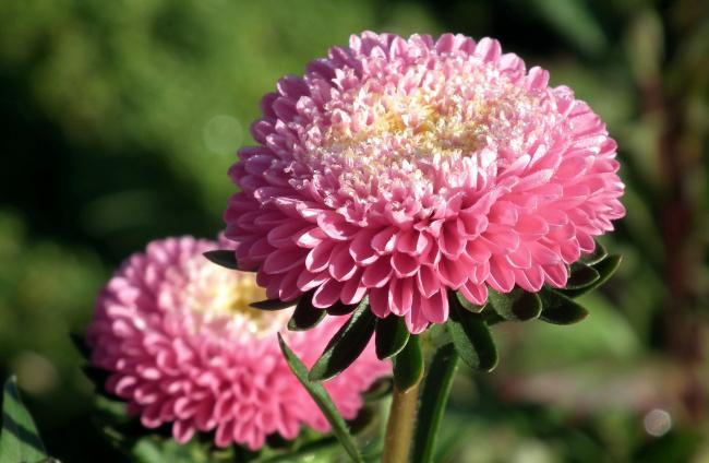 Обои картинки фото цветы, астры, розовый