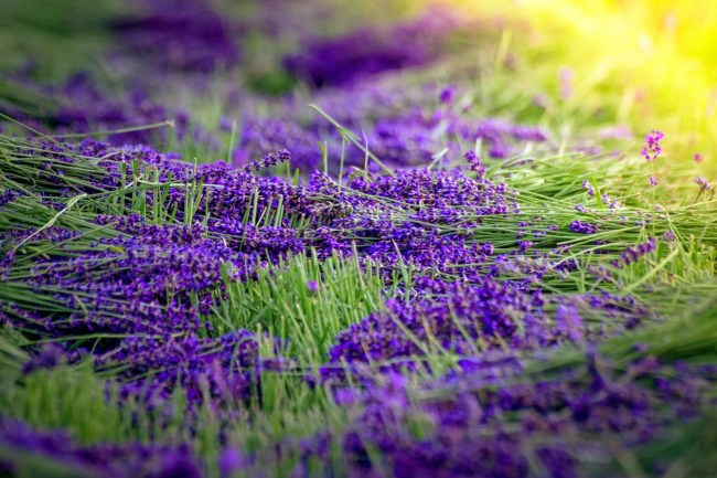 Обои картинки фото цветы, лаванда, лиловый