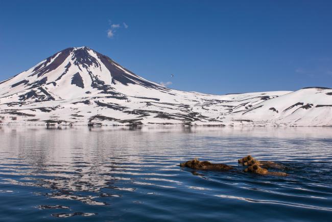 Обои картинки фото животные, медведи, заплыв, камчатка, природа, горы, снег, вода