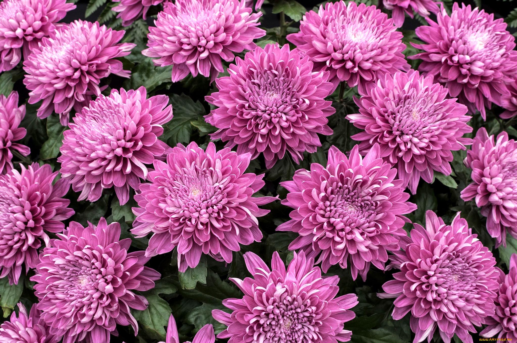 хризантема цветы  № 1353129  скачать