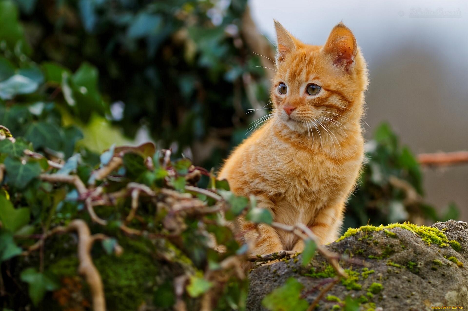 Рыжий котенок  № 1144407  скачать