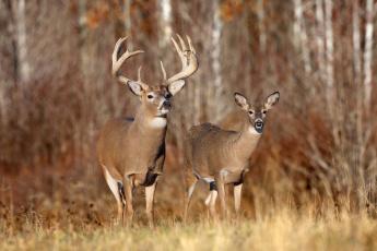 обоя животные, олени, олень, рога, млекопитающее, лес, осень