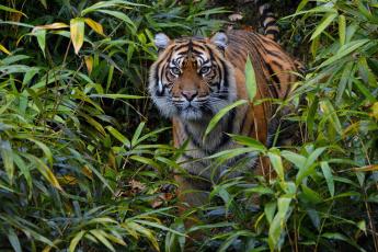 обоя животные, тигры, суматранский, заросли, морда, внимание, настороженность