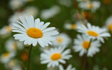обоя цветы, ромашки, ромашка