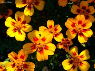 Картинка цветы бархатцы