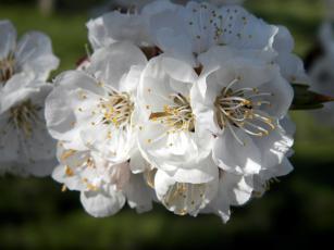 Картинка цветы цветущие деревья кустарники белый