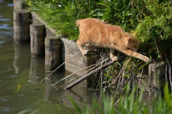 Картинка животные коты рыжий кот переход ситуация вода