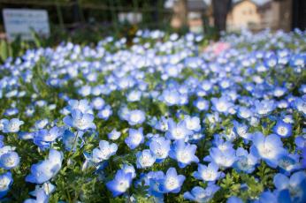 Картинка цветы немофилы вероники клумба немофила голубые глаза