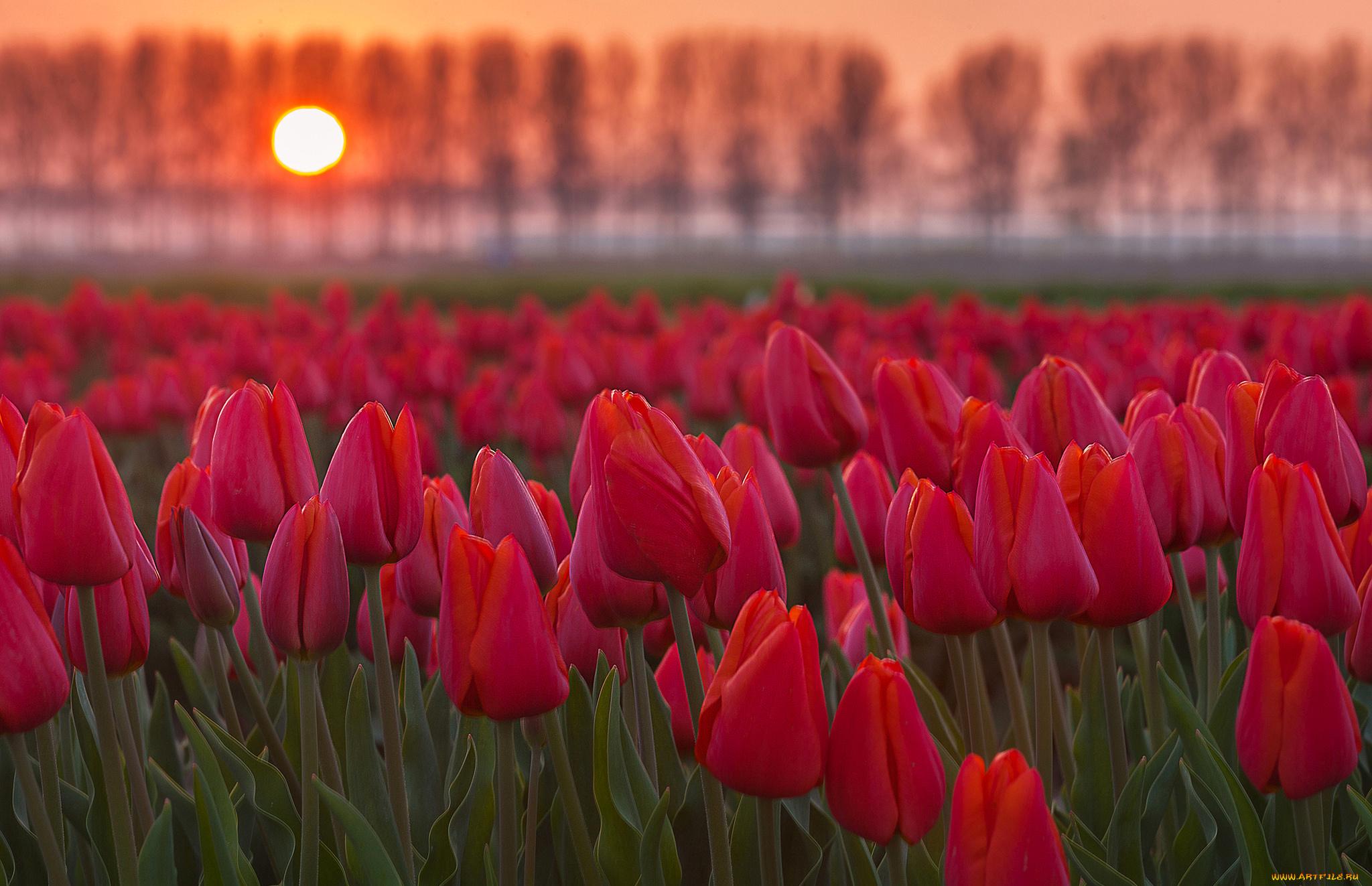 тюльпаны поле закат скачать