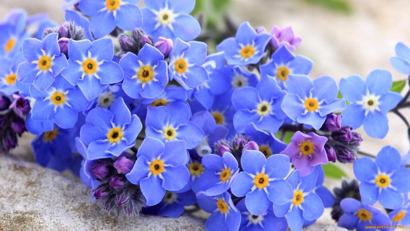 синие цветы незабудки крупный план роса  № 2779577 без смс